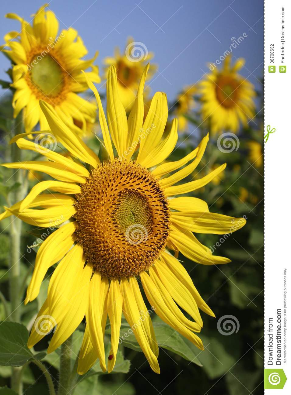 sunflower field picture blooming - photo #22
