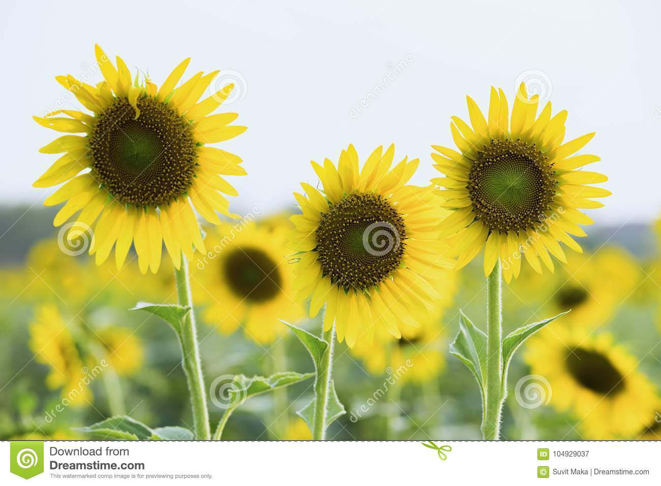 Field Of Blooming Sunflowers On A Background Sunset, Stock