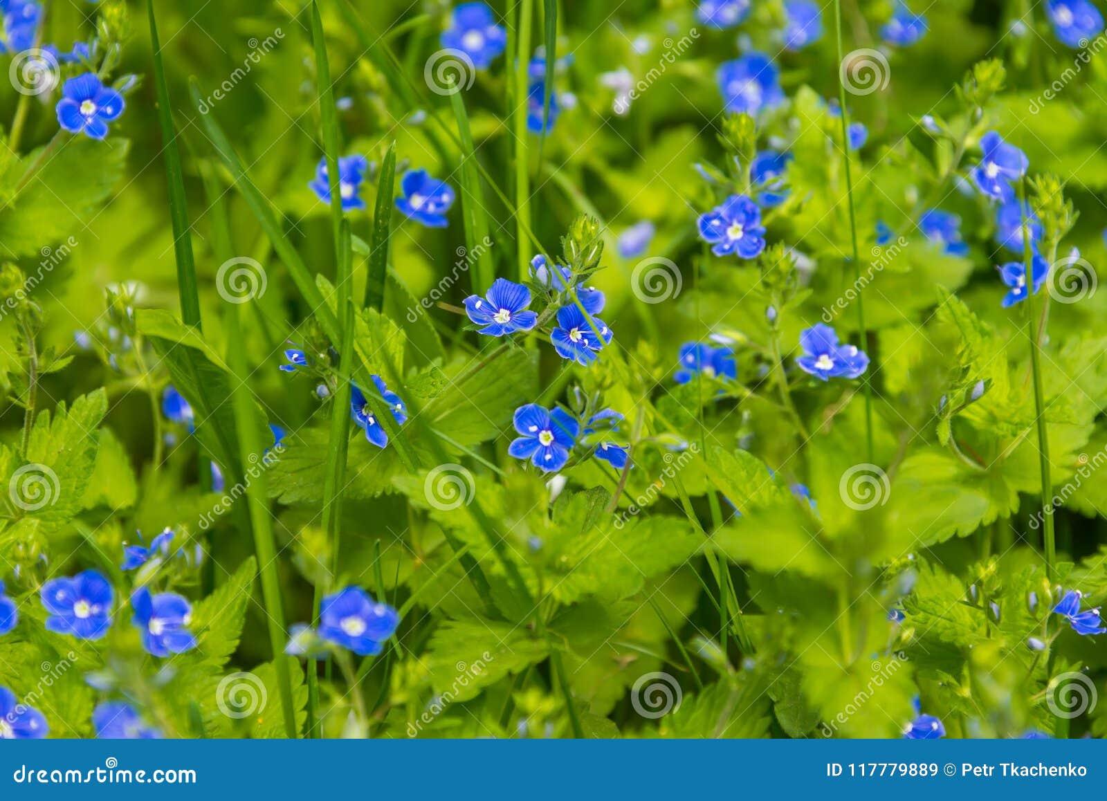 field of blue flowers cornflowers stock image image of closeup