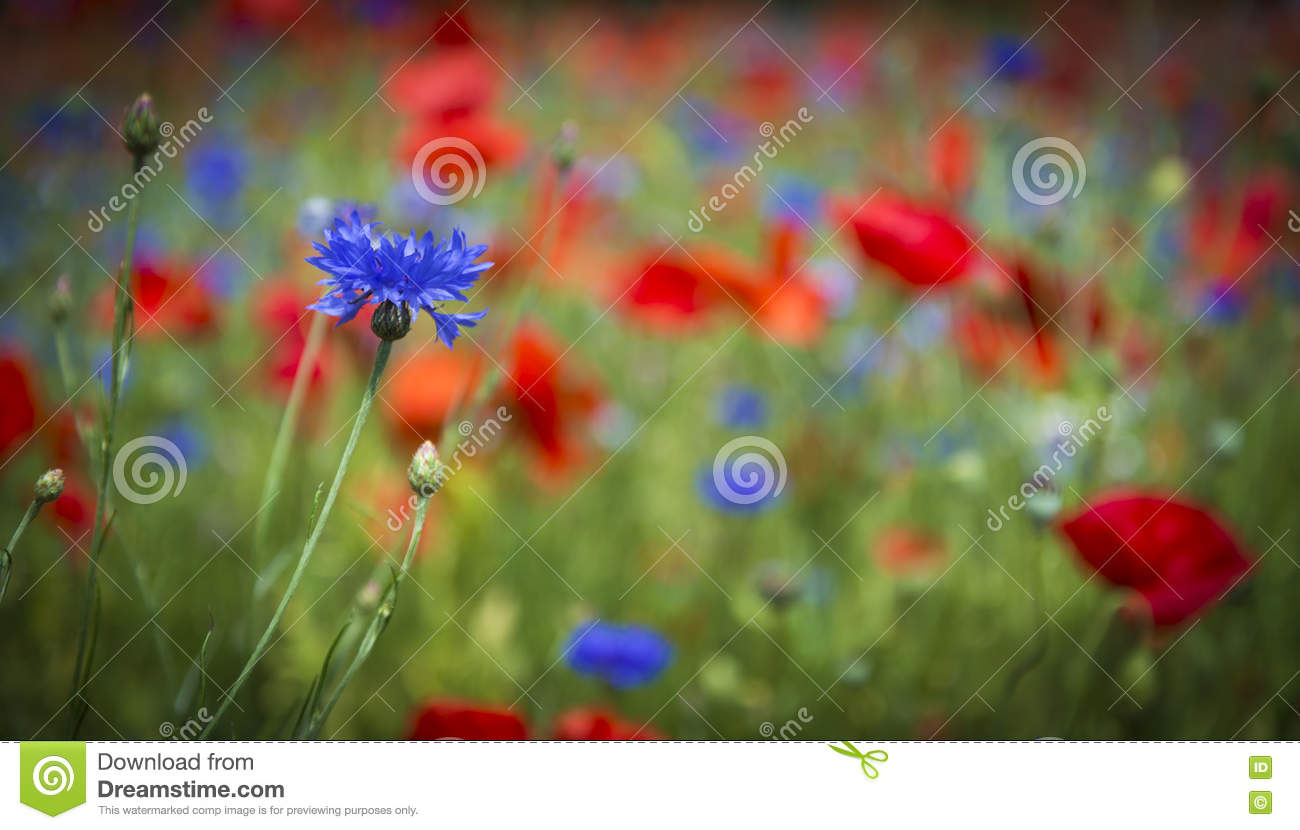 bright red flowers field - photo #32