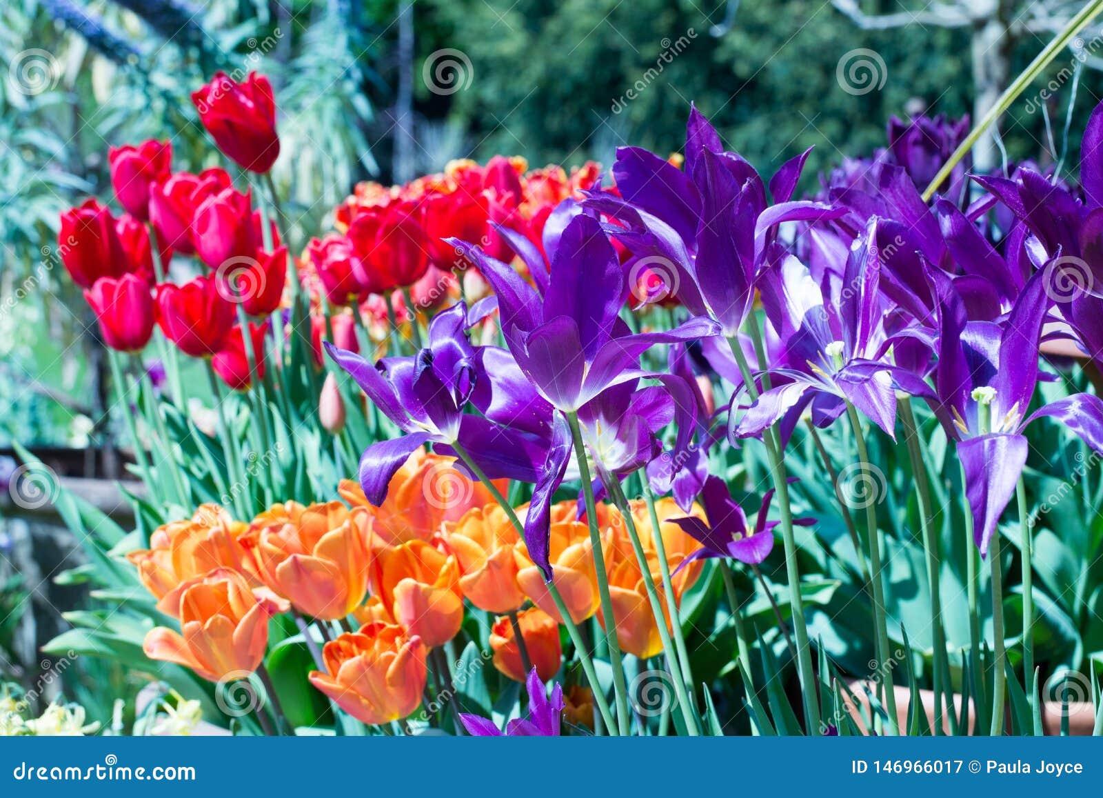 Flower bed full of vibrant multi-coloured Tulips in full bloom