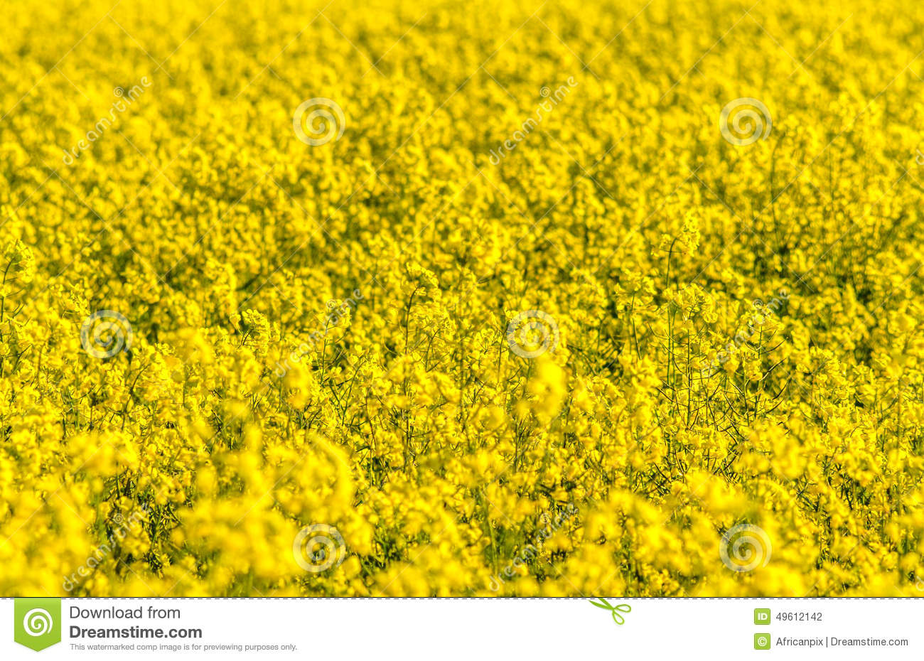 Field of canola stock photo image of province outdoors 49612142 download comp mightylinksfo