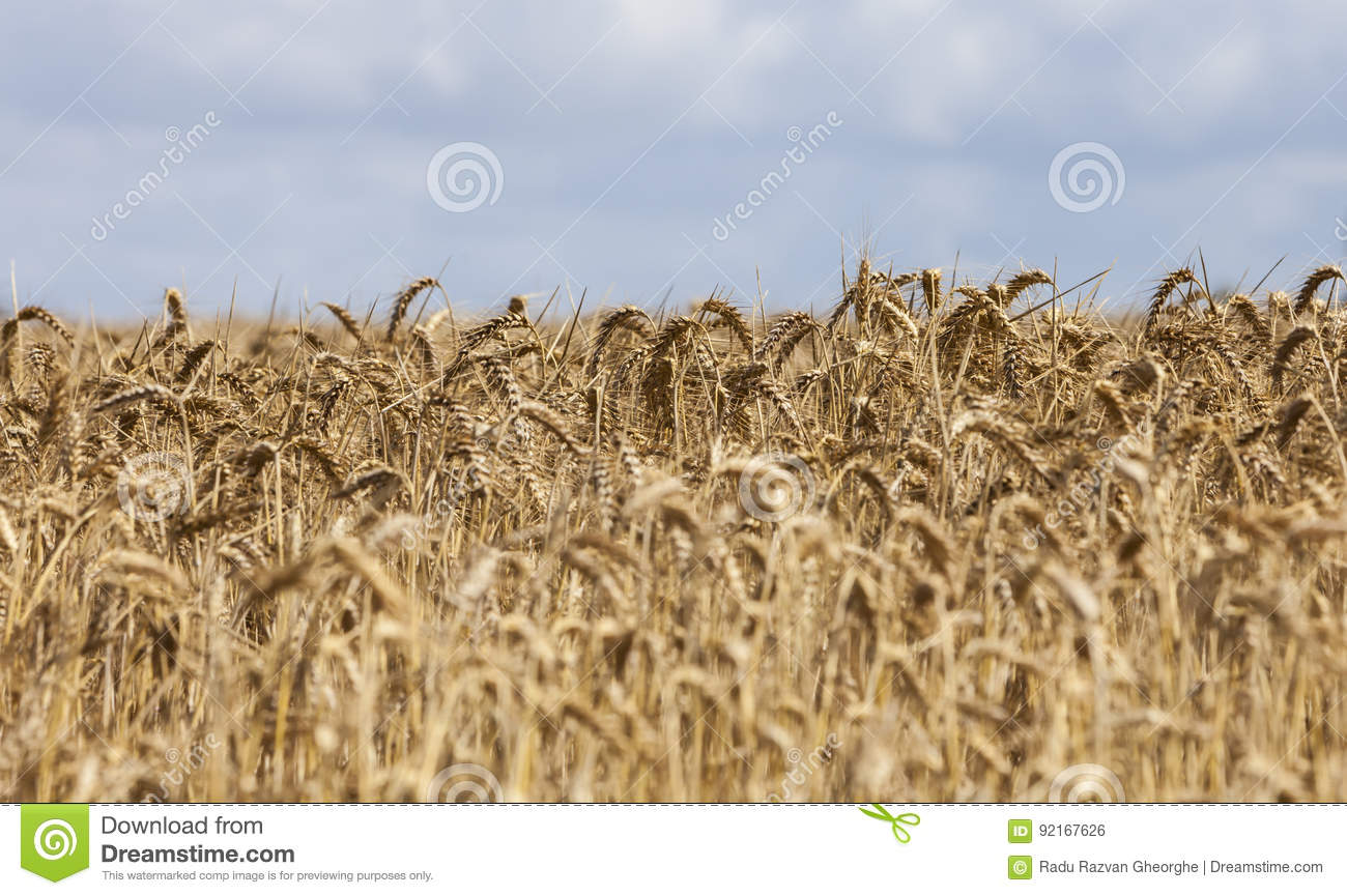 Field of Cereals