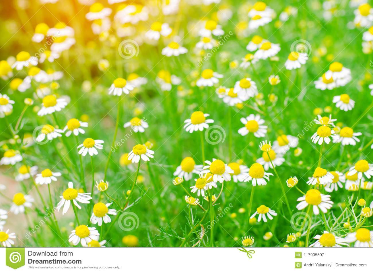 Field Of Chamomile Close Up Beautiful Meadow On A Sunny Day Summer