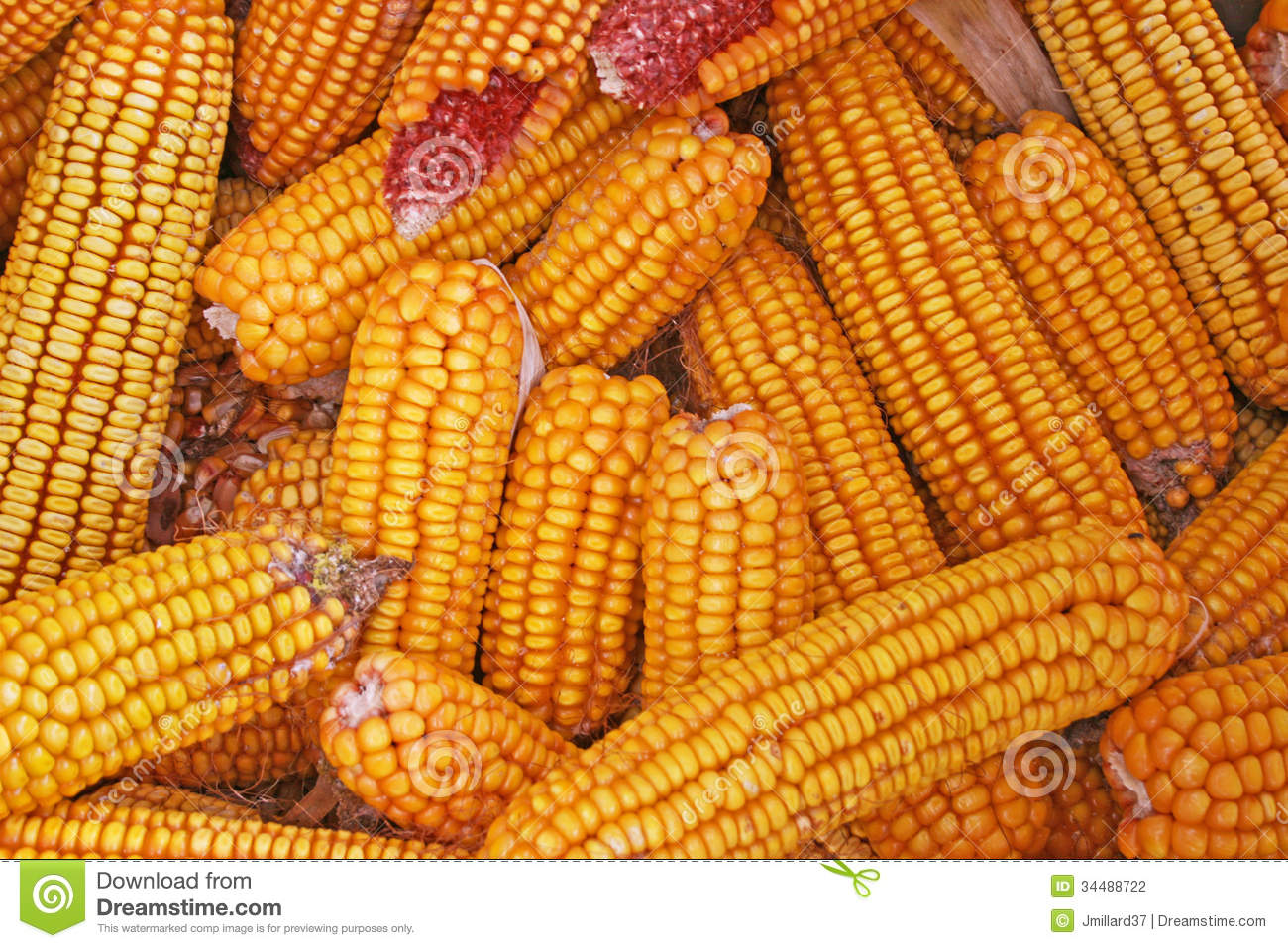 Field-corn Cobs Stock Photography - Image: 34488722