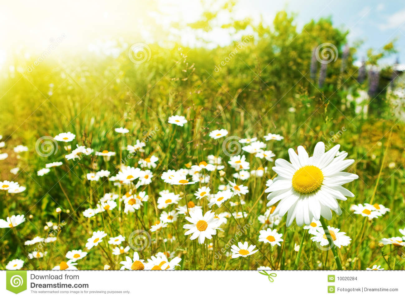 Field Of Daisies Stock Images - Image: 10020284 Field Of Daisies