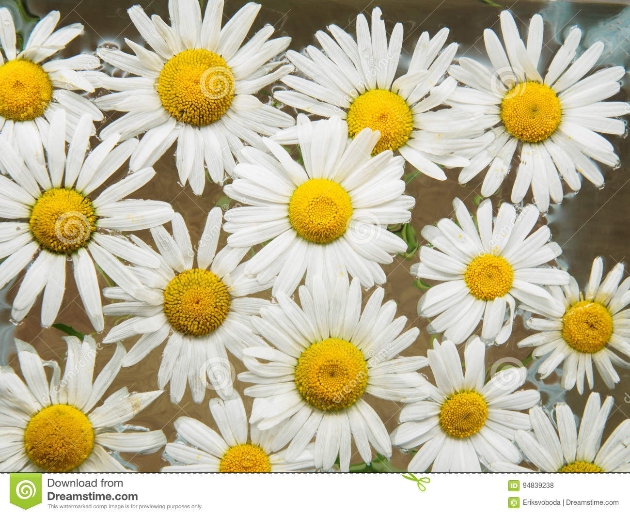 Field Of Daisies Floating In The Water Chamomile With Drops Of