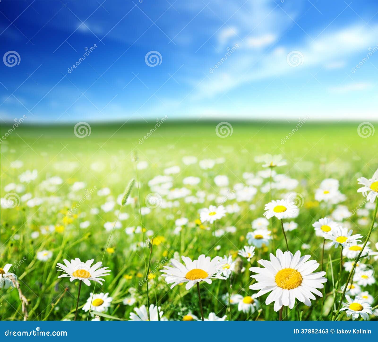 daisy field mountain sky - photo #24