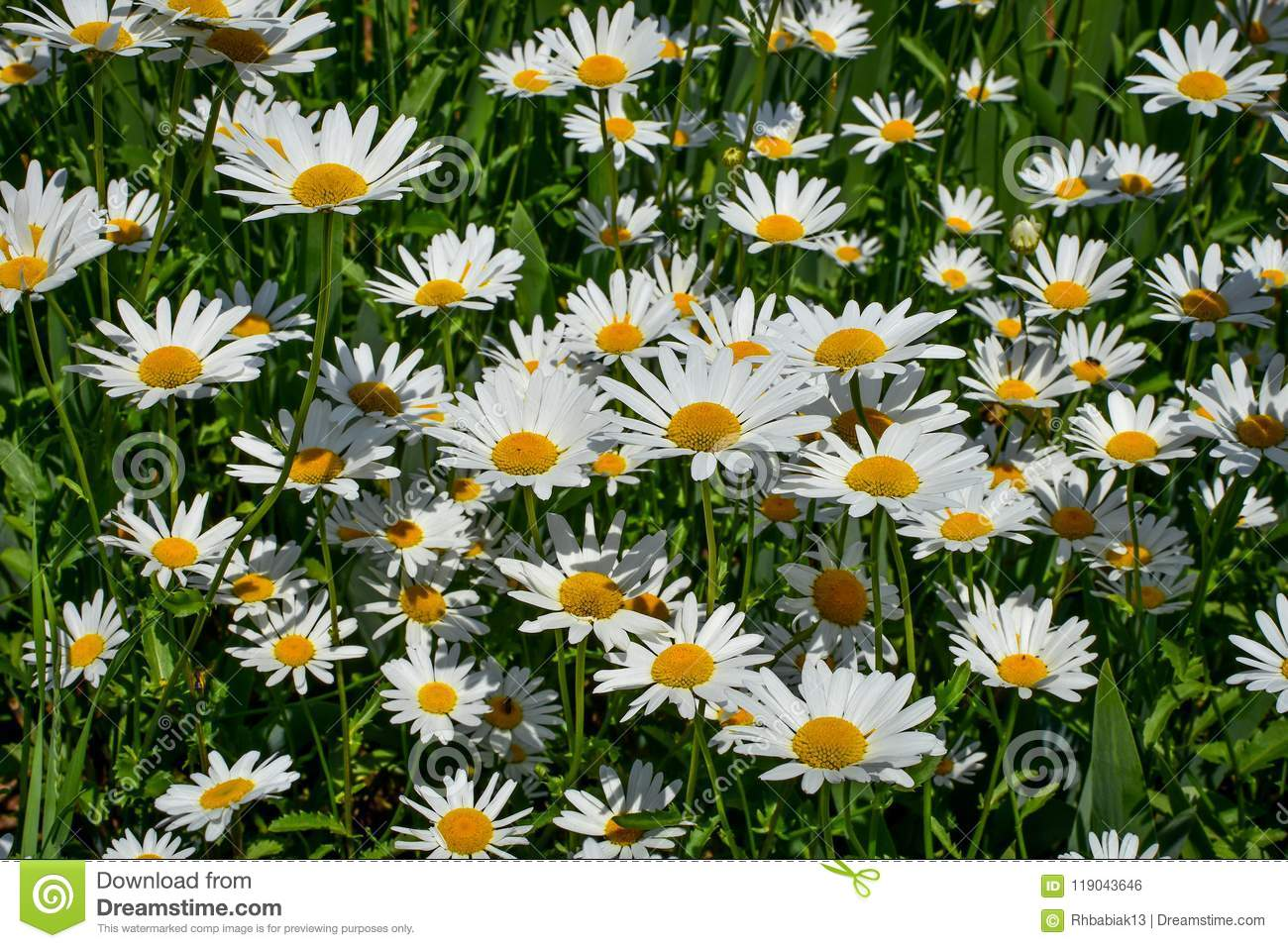 Field Of Daisy Flowers Background Stock Photo Image Of Yellow