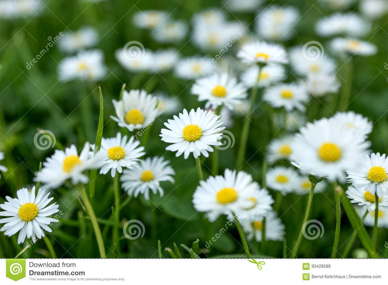 Field of daisy flowers bellis perennis stock photo image of grass download comp izmirmasajfo