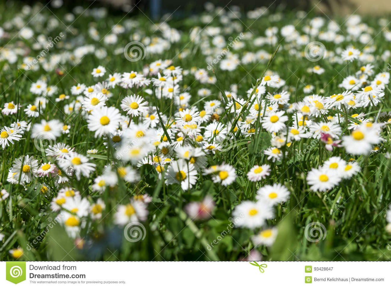 Field of daisy flowers bellis perennis stock image image of download comp izmirmasajfo