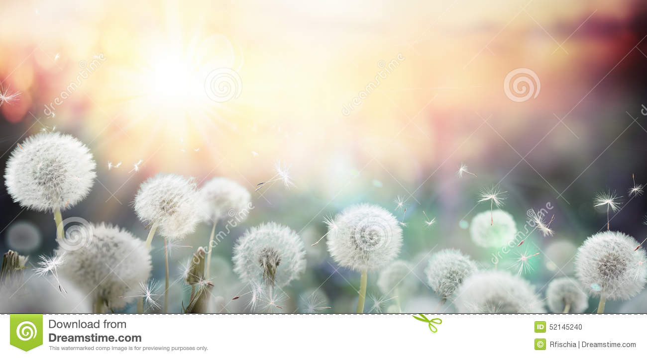Download Field Of Dandelion In Sunset Stock Photo - Image of background, softness: 52145240