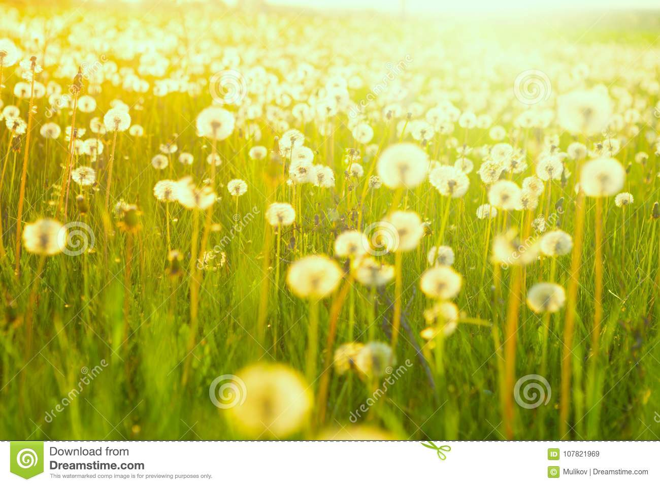 Field of dandelions. Green summer meadow with dandelions at sunset