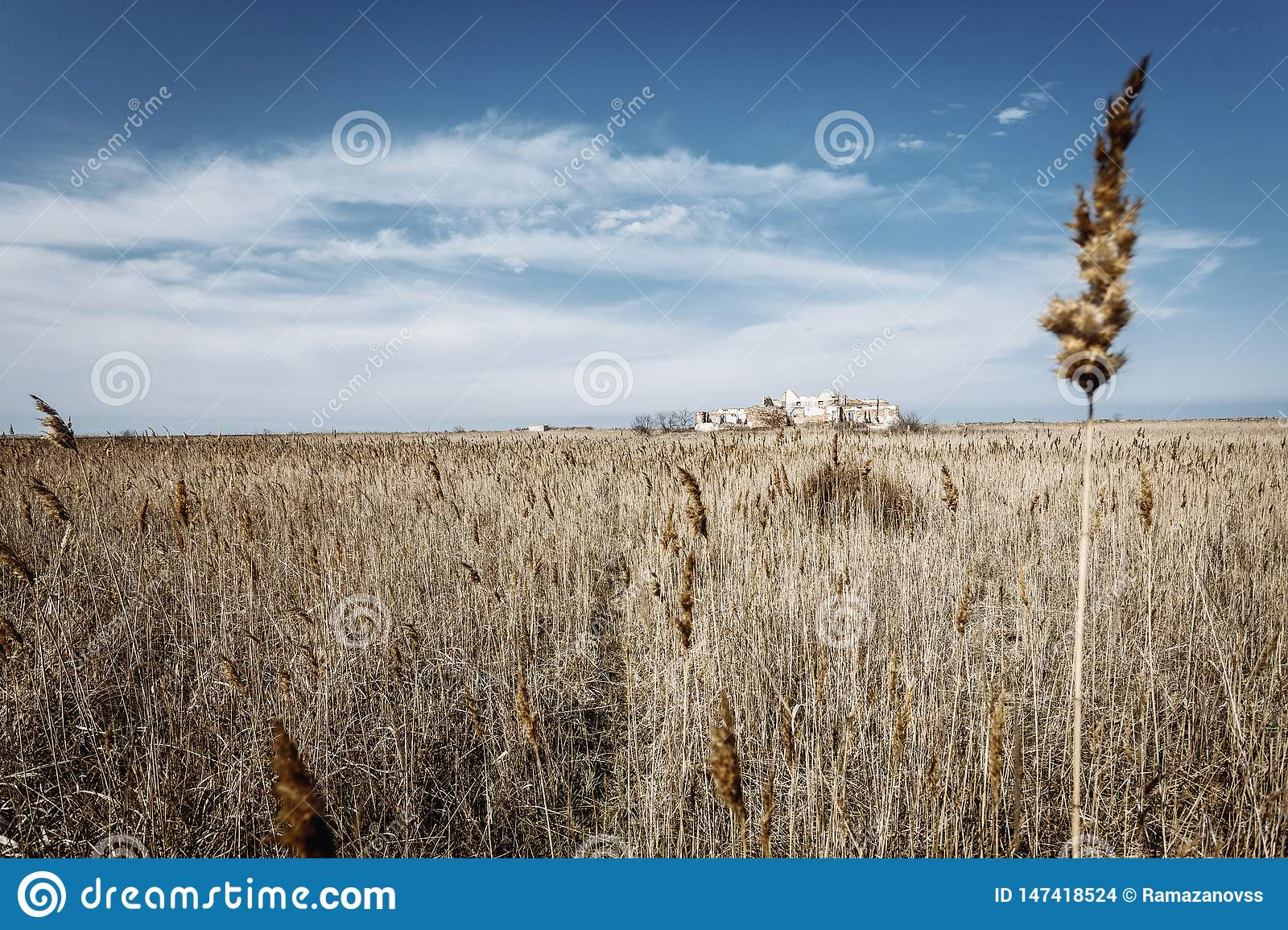 Field with dry grass and lonely spike