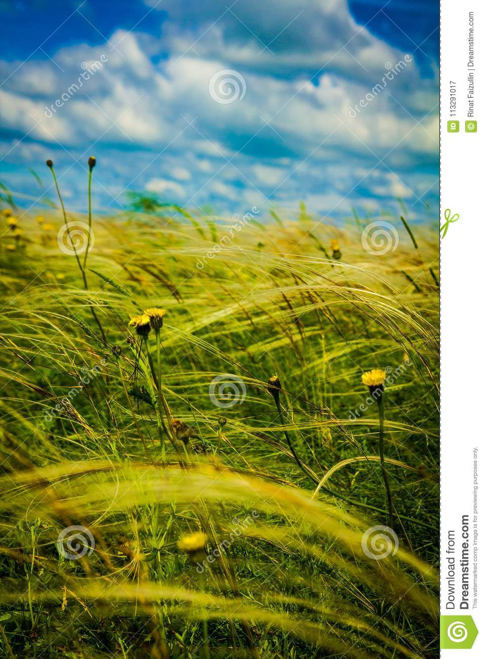 Field With Feather Grass And Yellow Flowers Stock Image Image Of
