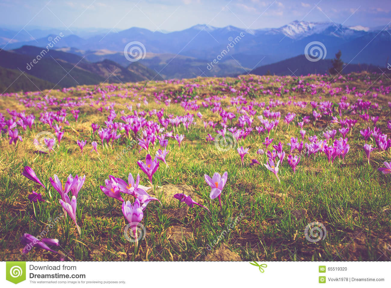 Field of first blooming spring flowers crocus as soon as snow descends on the background of mountains in sunlight.