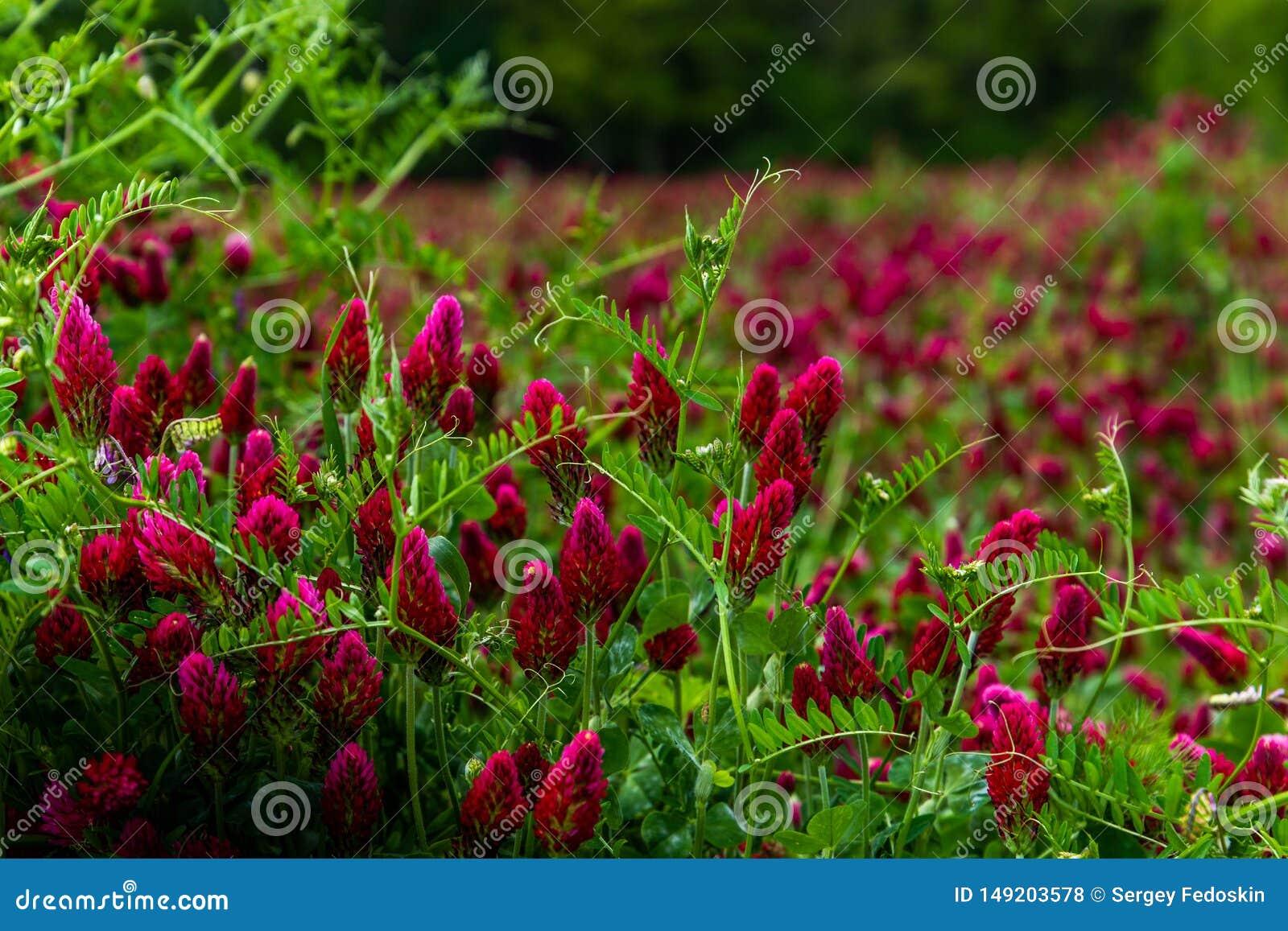 Field of flowering crimson clovers Trifolium incarnatum Rural landscape