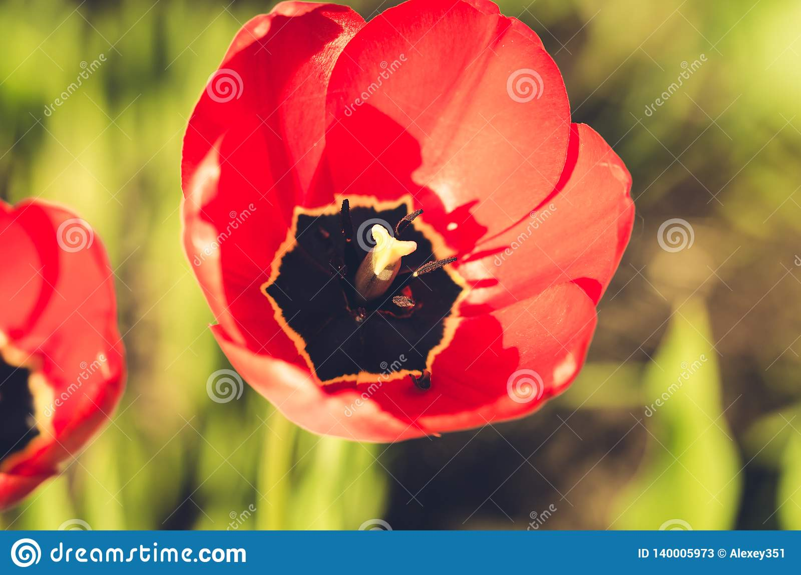 field flowers red tulip. Beautiful meadow/ Beautiful nature scene with blooming red tulip, closeup