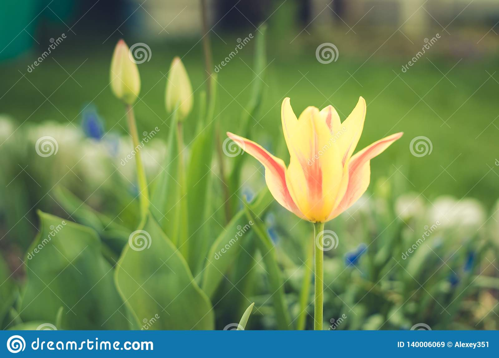 field flowers yellow tulip. Spring flowers. Beautiful meadow/ Beautiful nature scene with blooming white tulip, closeup