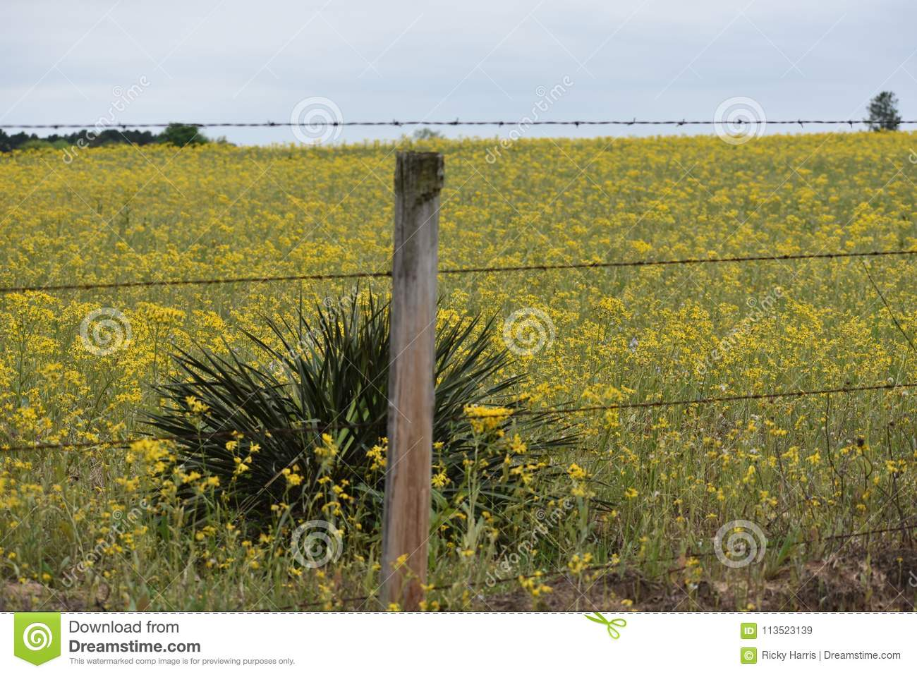 Field full of yellow flowers in east texas stock image image of field full of yellow flowers in east texas mightylinksfo
