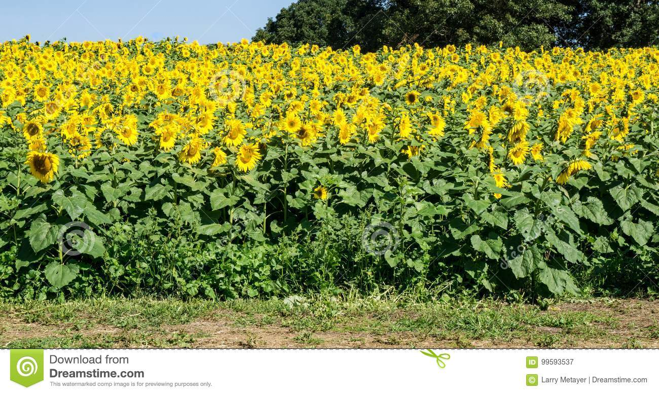 Field of Giant Sunflowers -3