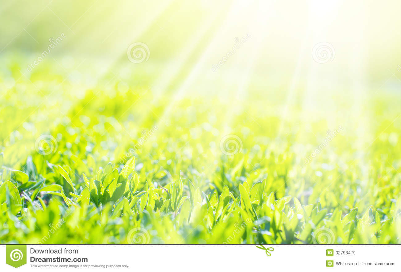 field of a grass in sunshine  background royalty free
