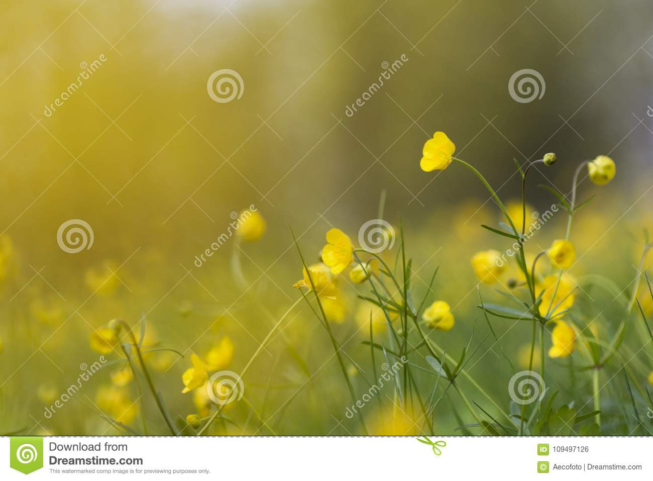 Field With Grass And Yellow Flowers In Spring Time Stock Photo
