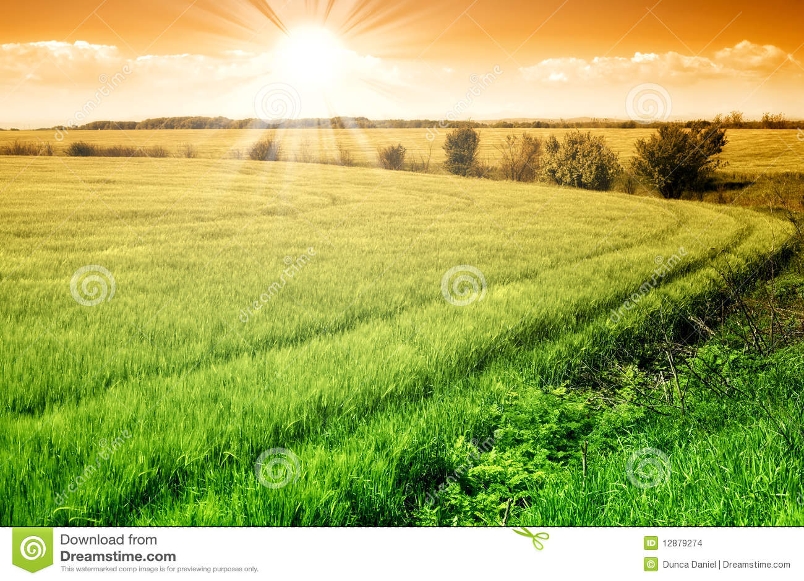 Field of green fresh grain and sunny sky