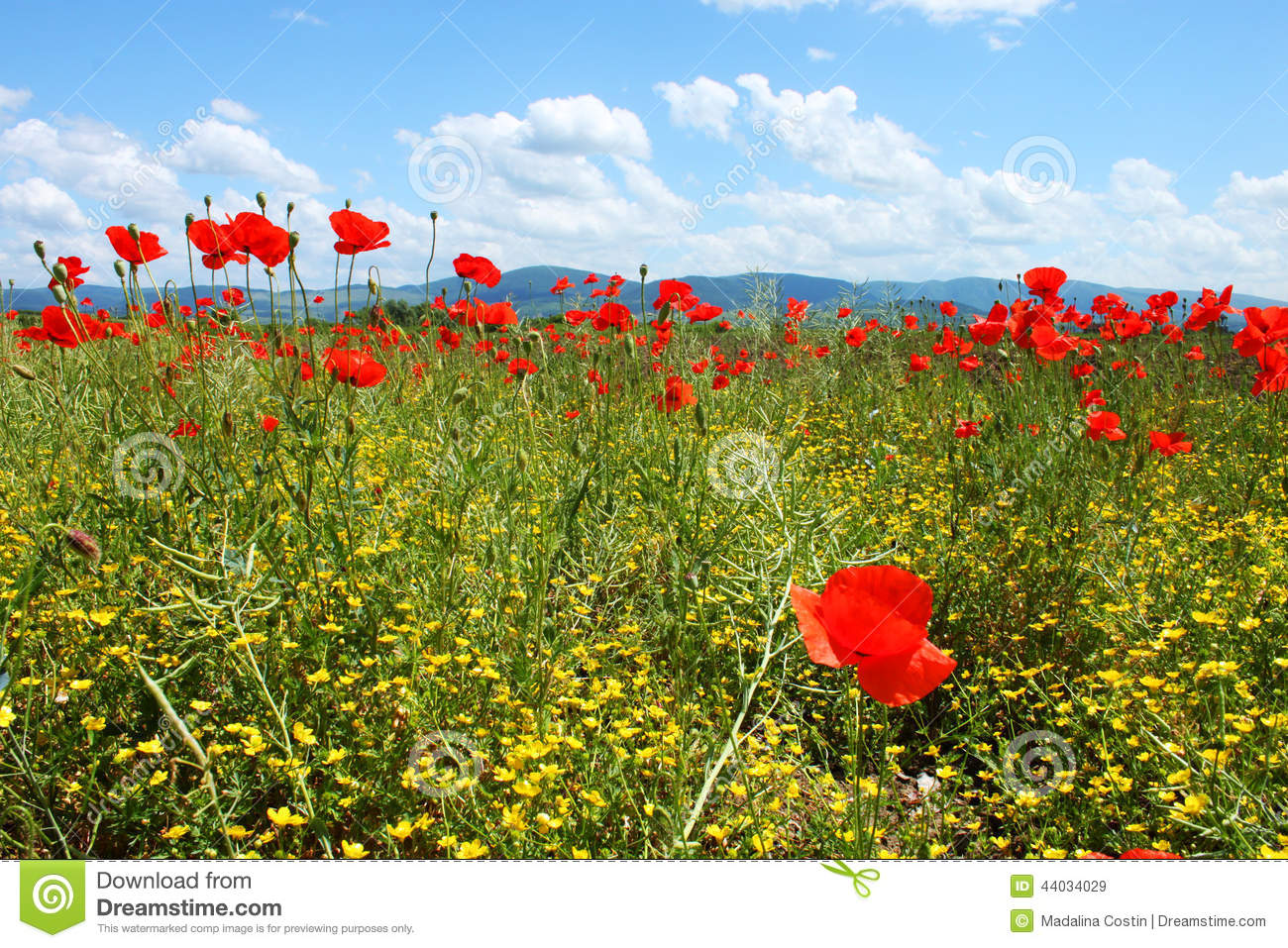 Field With Green Grass Yellow Flowers And Red Poppies Stock Photo