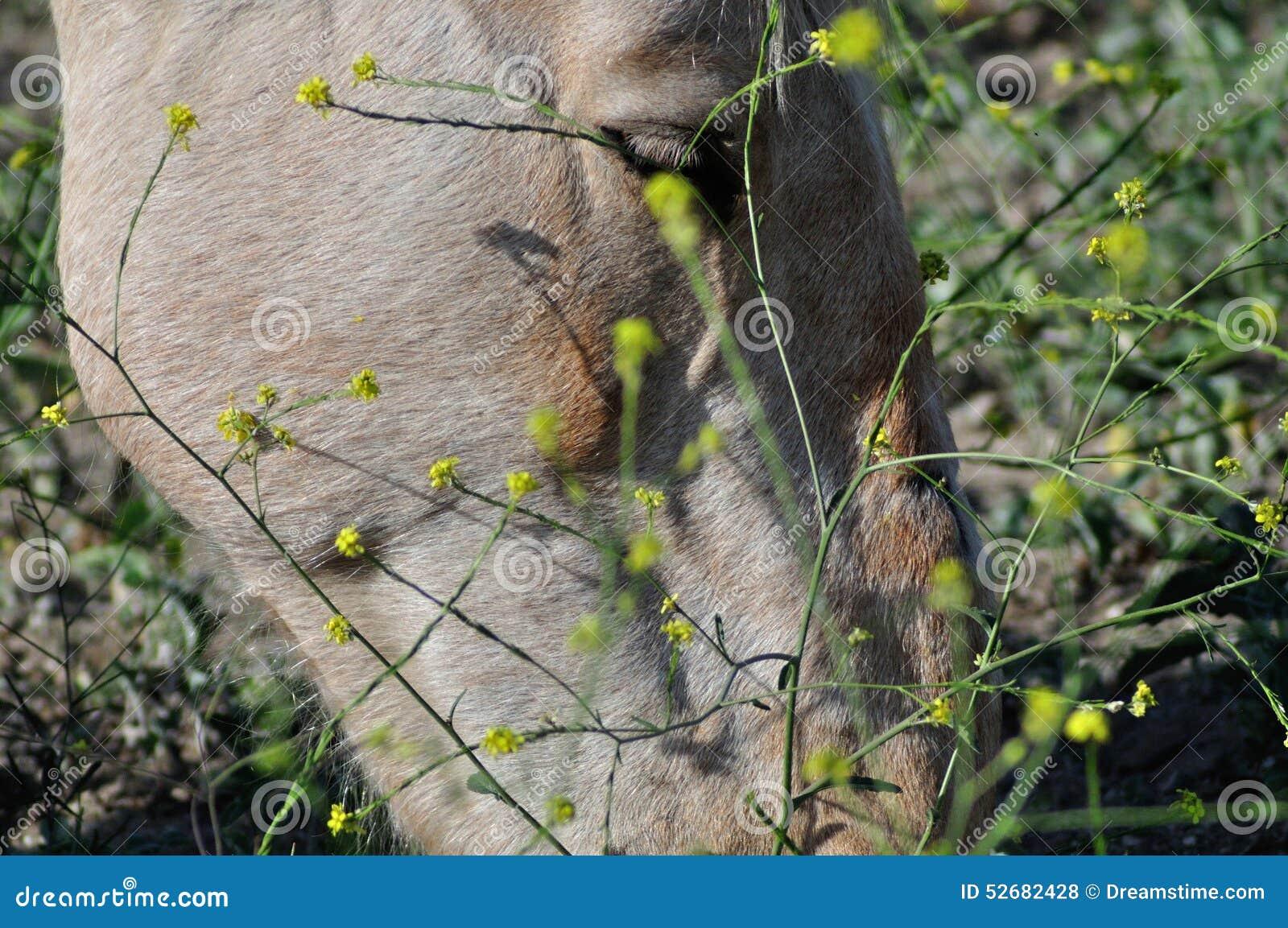 Field hästen