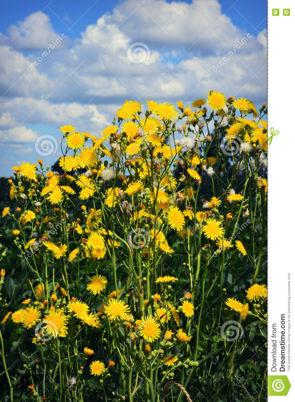 Field hawkweed stock image image of growing background 74511791 tall yellow flowers that look similar to dandelions but are called field hawkweed growing tall against a blue sky puffy white cloud background mightylinksfo