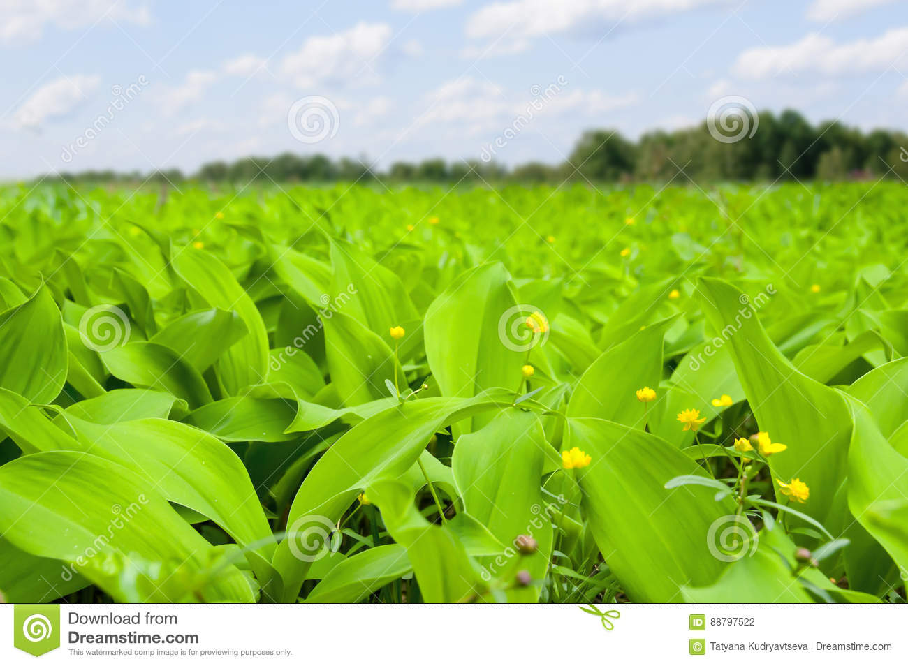 Field Of Herbs With Big Leaves And Little Yellow Flowers Stock Photo