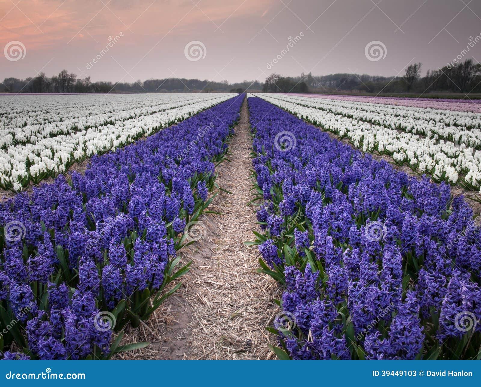 Field of hyacinths under evening light