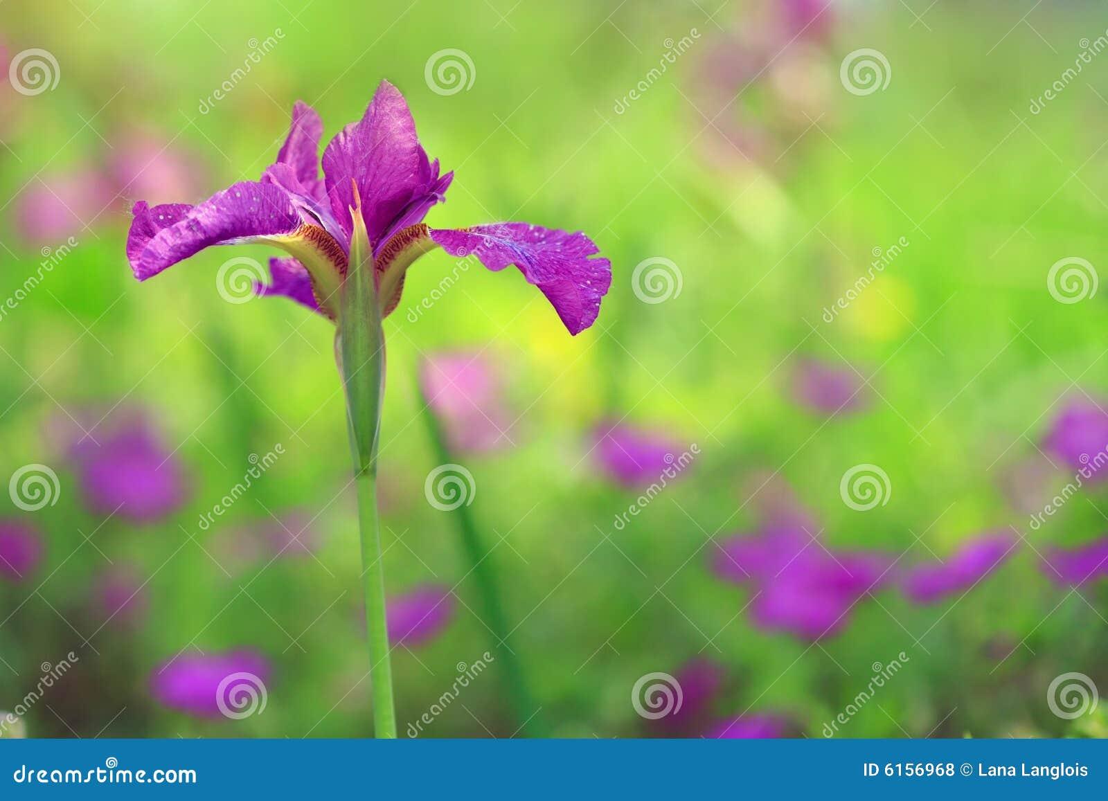 Field Of Iris Flowers Stock Photo Image Of Purple Fresh 6156968