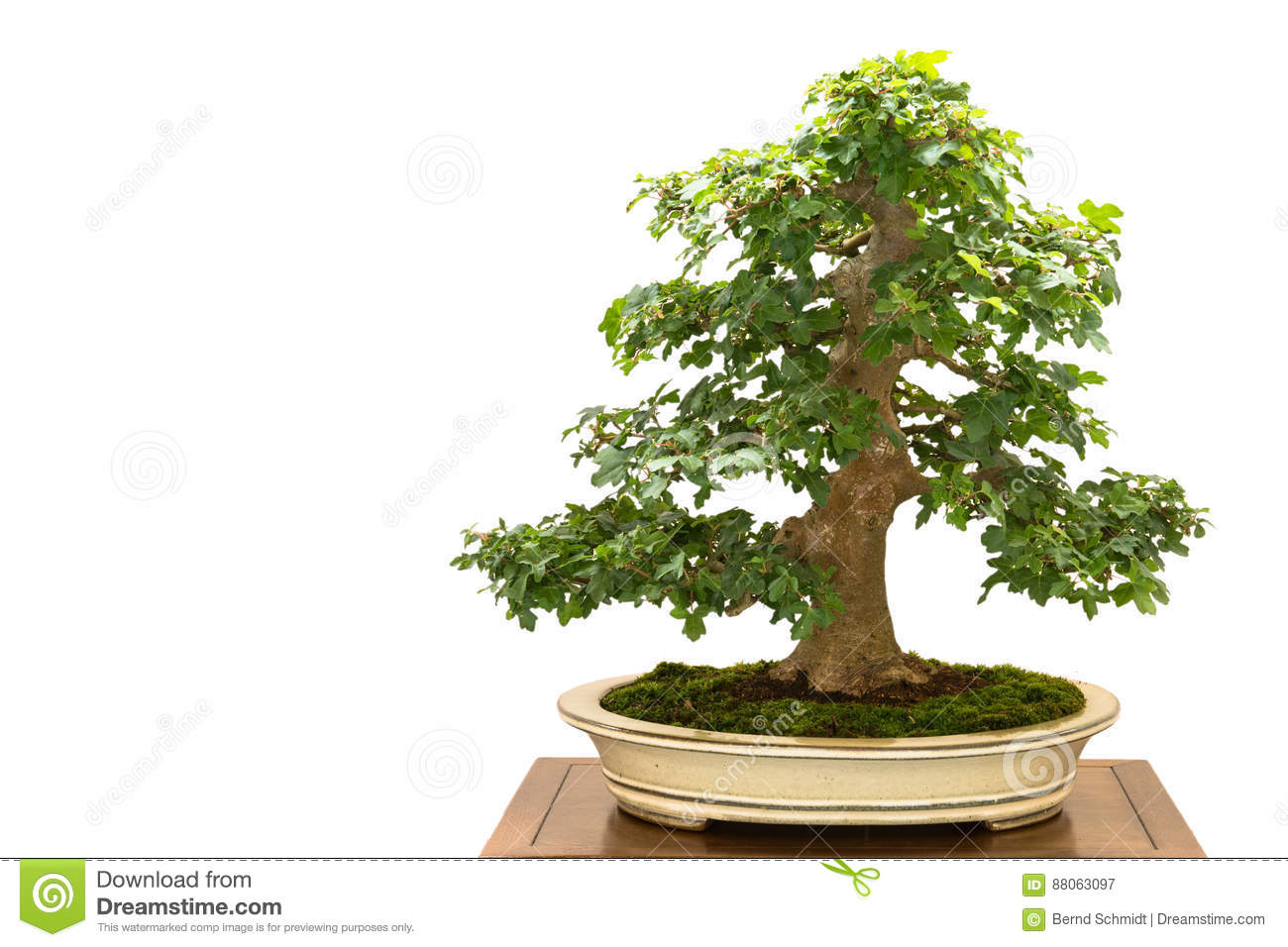 Field Maple Acer Campestre As Bonsai Tree Stock Image Image Of