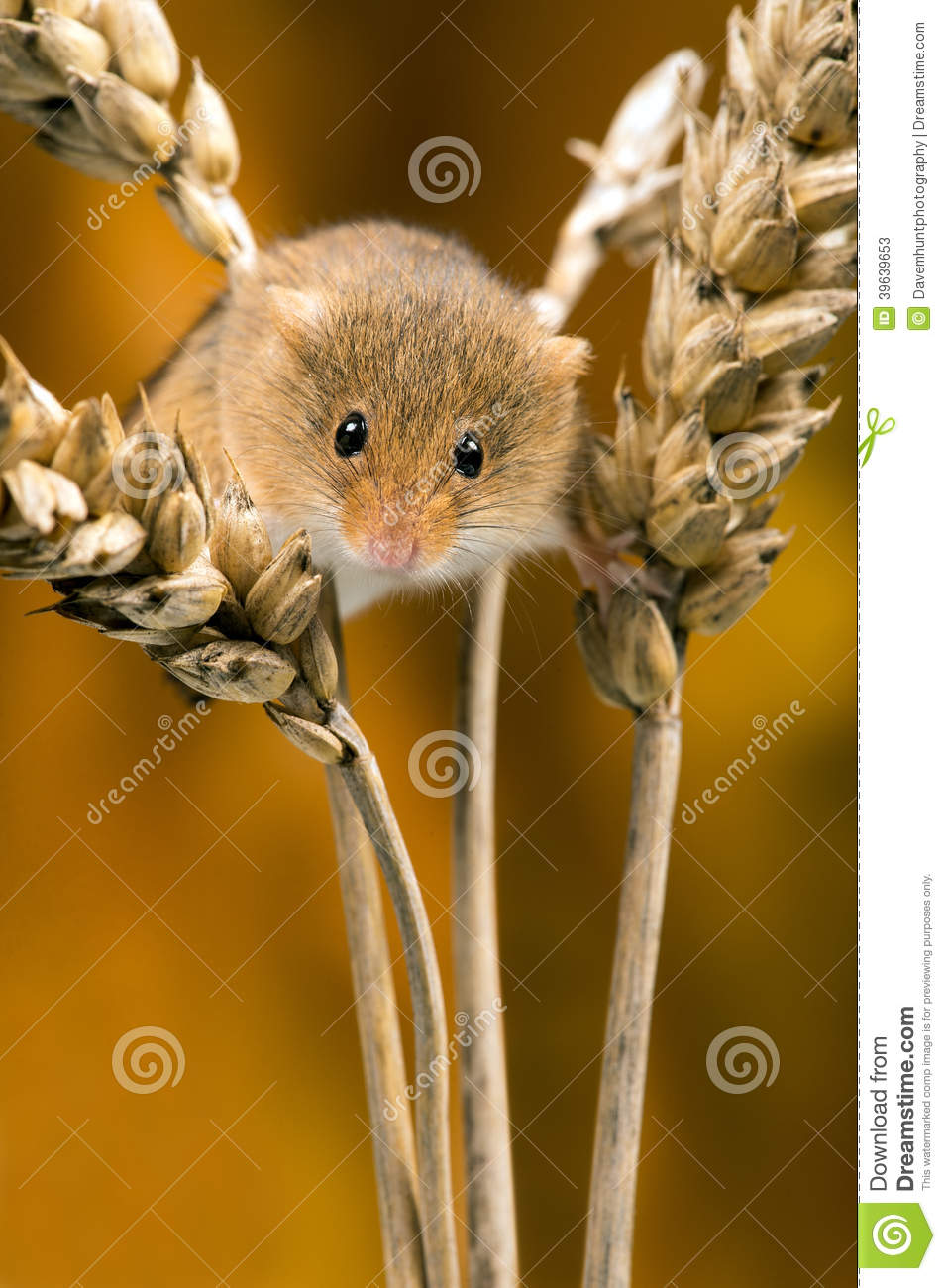 Mouse field hides between the tiles royalty free stock for Field mouse cartoon