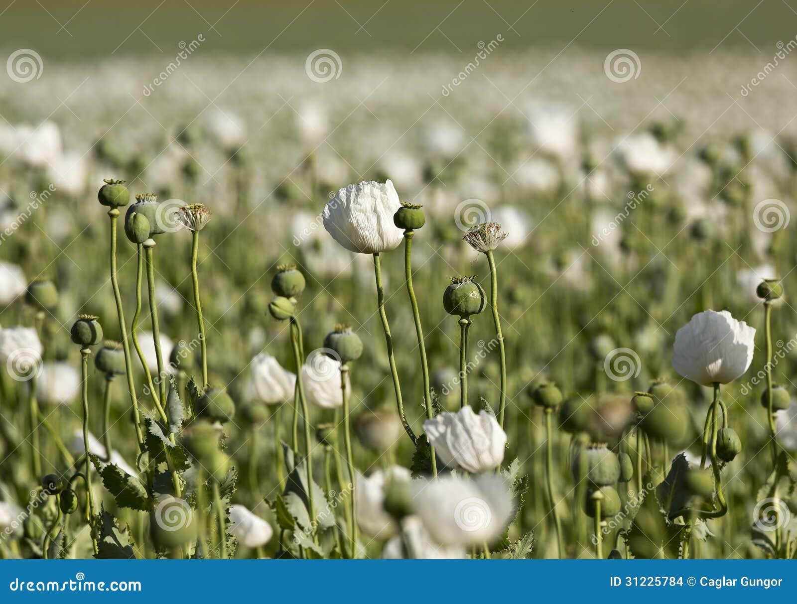 Opium dreams in the romantic
