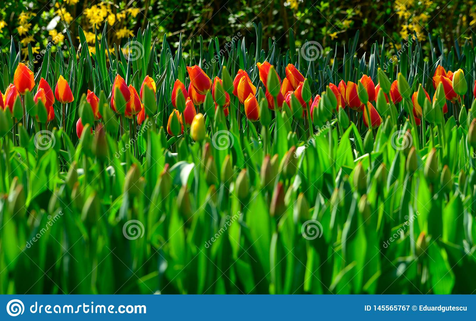 Field of orange tulips in Holland , spring time colourful flowers