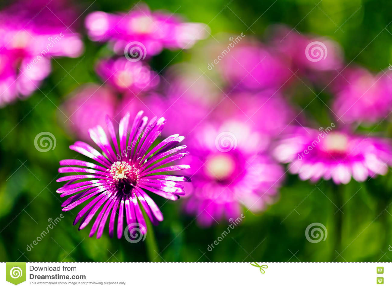 Field Of Pink Flowers Stock Photo Image Of Pink Color 72819638