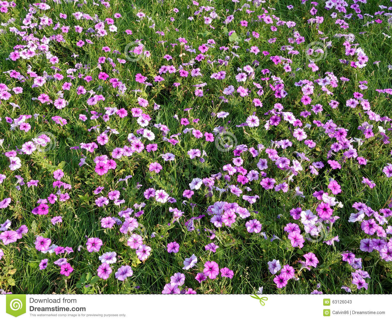 A Field Of Pink Flowers Stock Image Image Of Cosmos 63126043