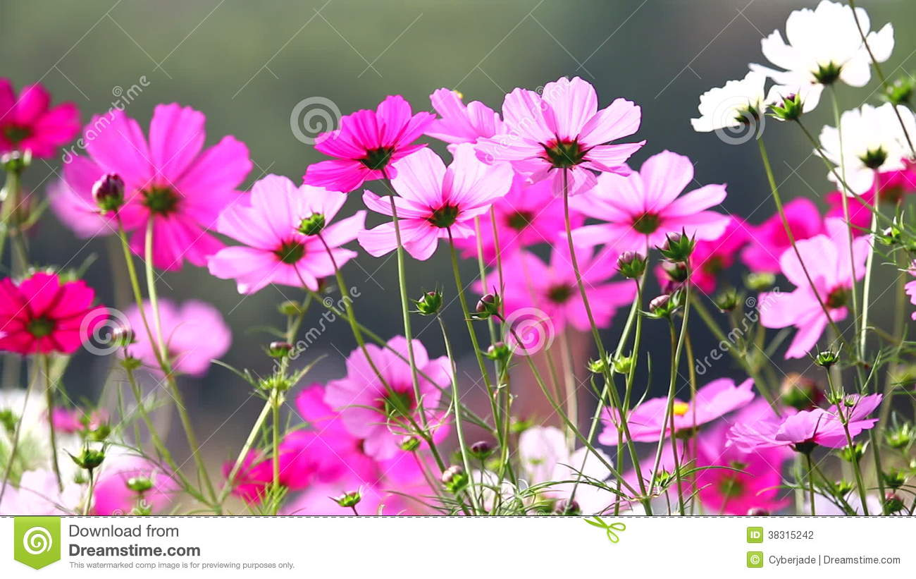 Field Of Pink Flowers Hd 1080p Stock Video Video Of Fresh Macro