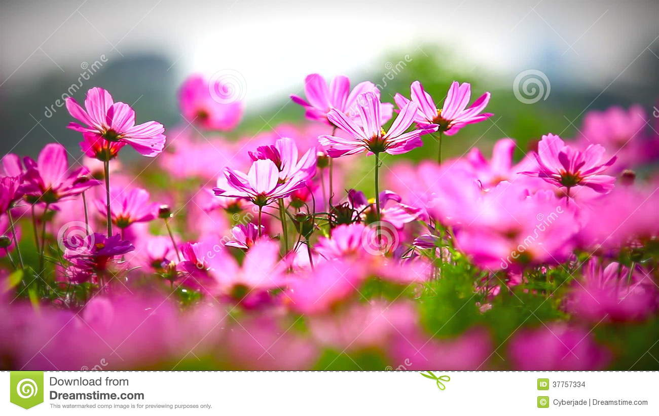 Field Of Pink Flowers Hd 1080p Stock Footage Video Of Floral