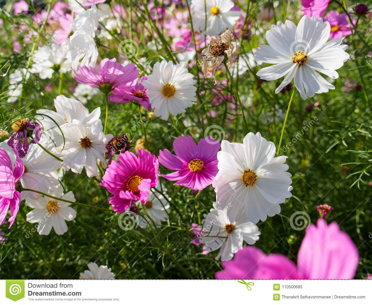 A Field Of Pink And White Cosmos Flowers Stock Image Image Of