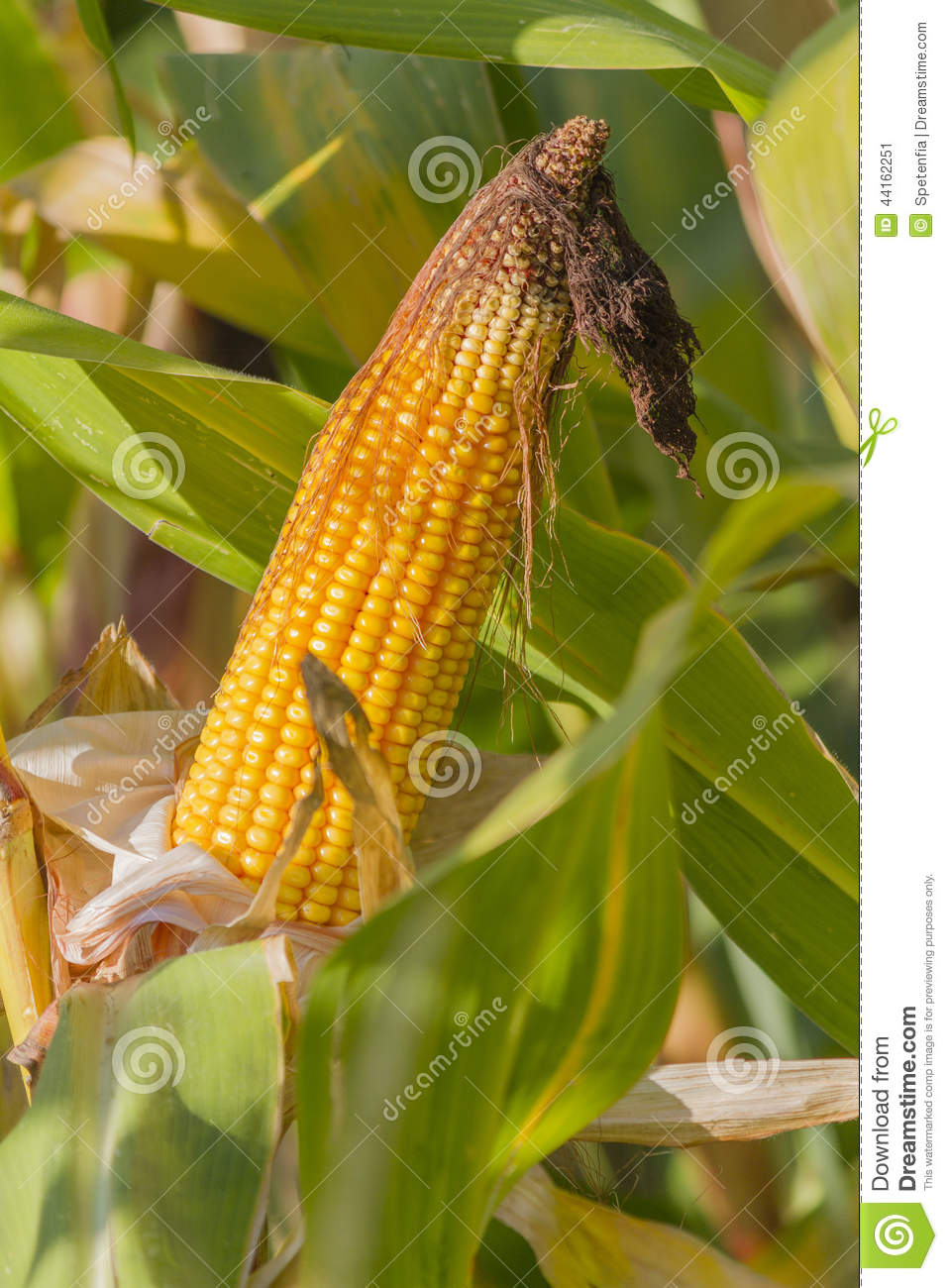 how to cook field corn on the cob