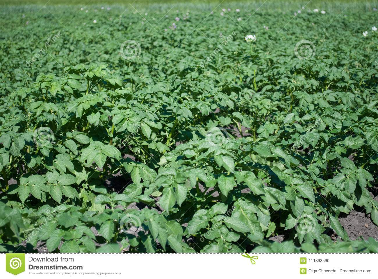 Field With Planted Potatoes Long Rows Which Will Bloom With White
