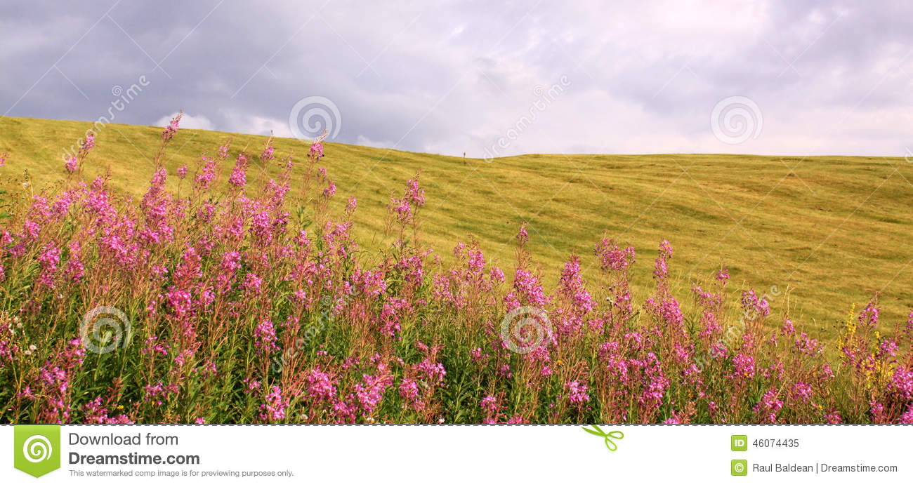 Field with plink flowers and sky in summer