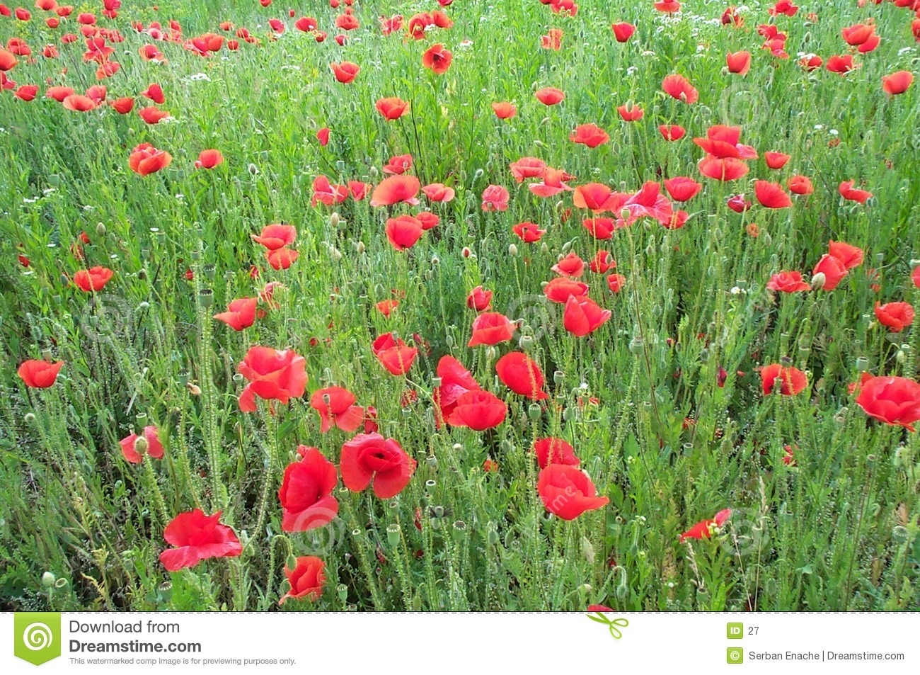 Field of poppies 1