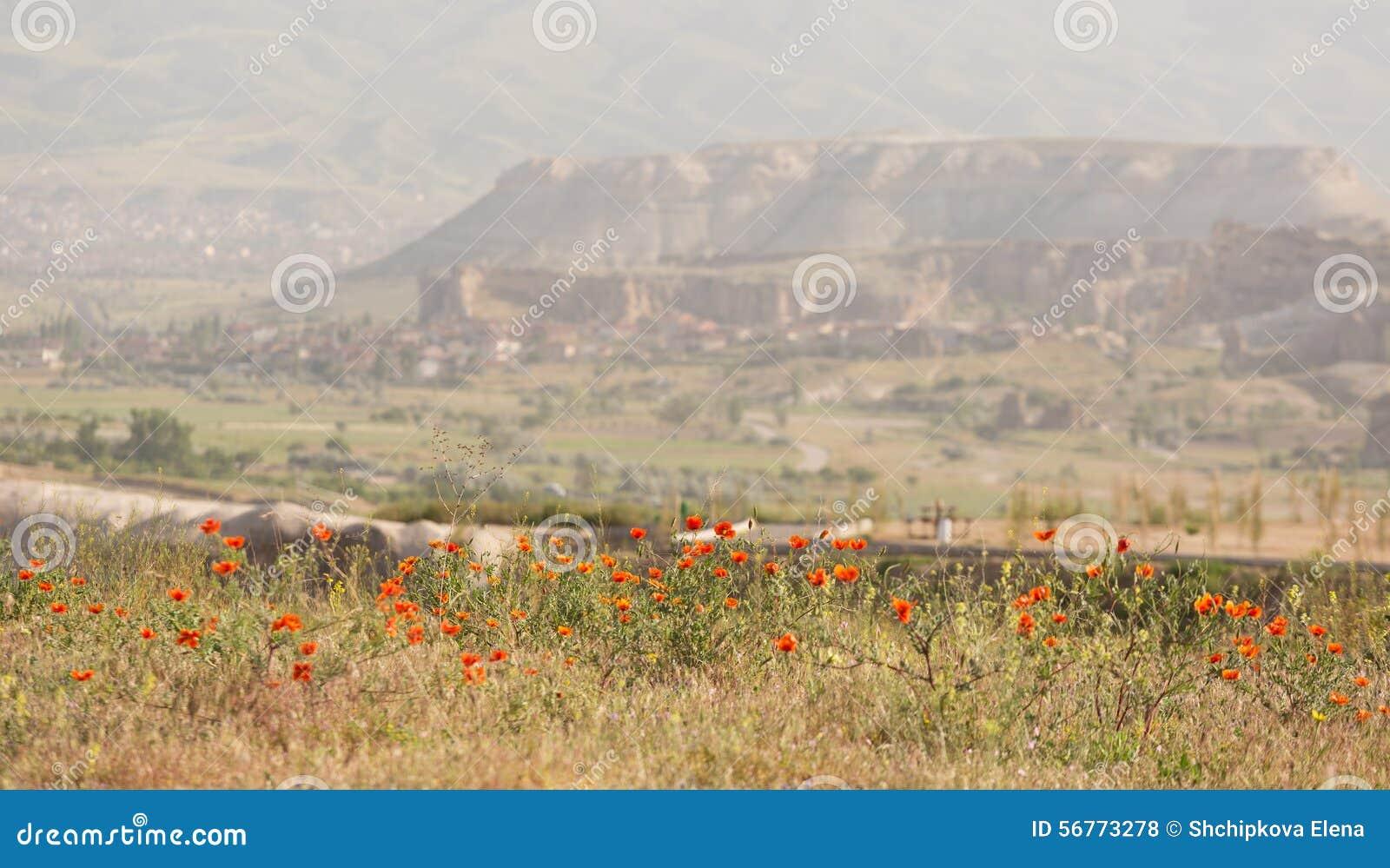Field poppies blossom