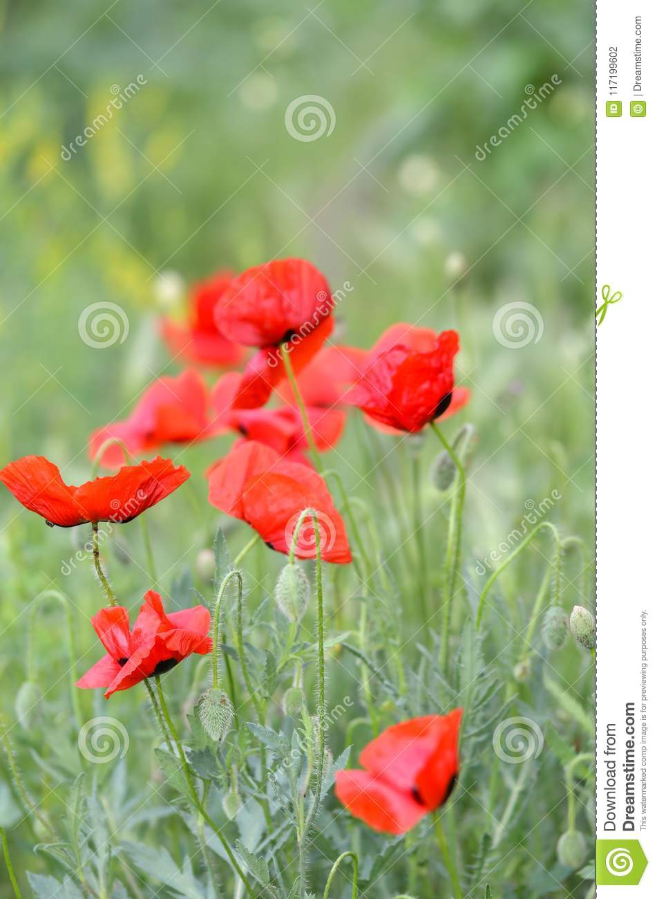 Field Of Poppy Flowers On A Windy Day Stock Photo Image Of Colors