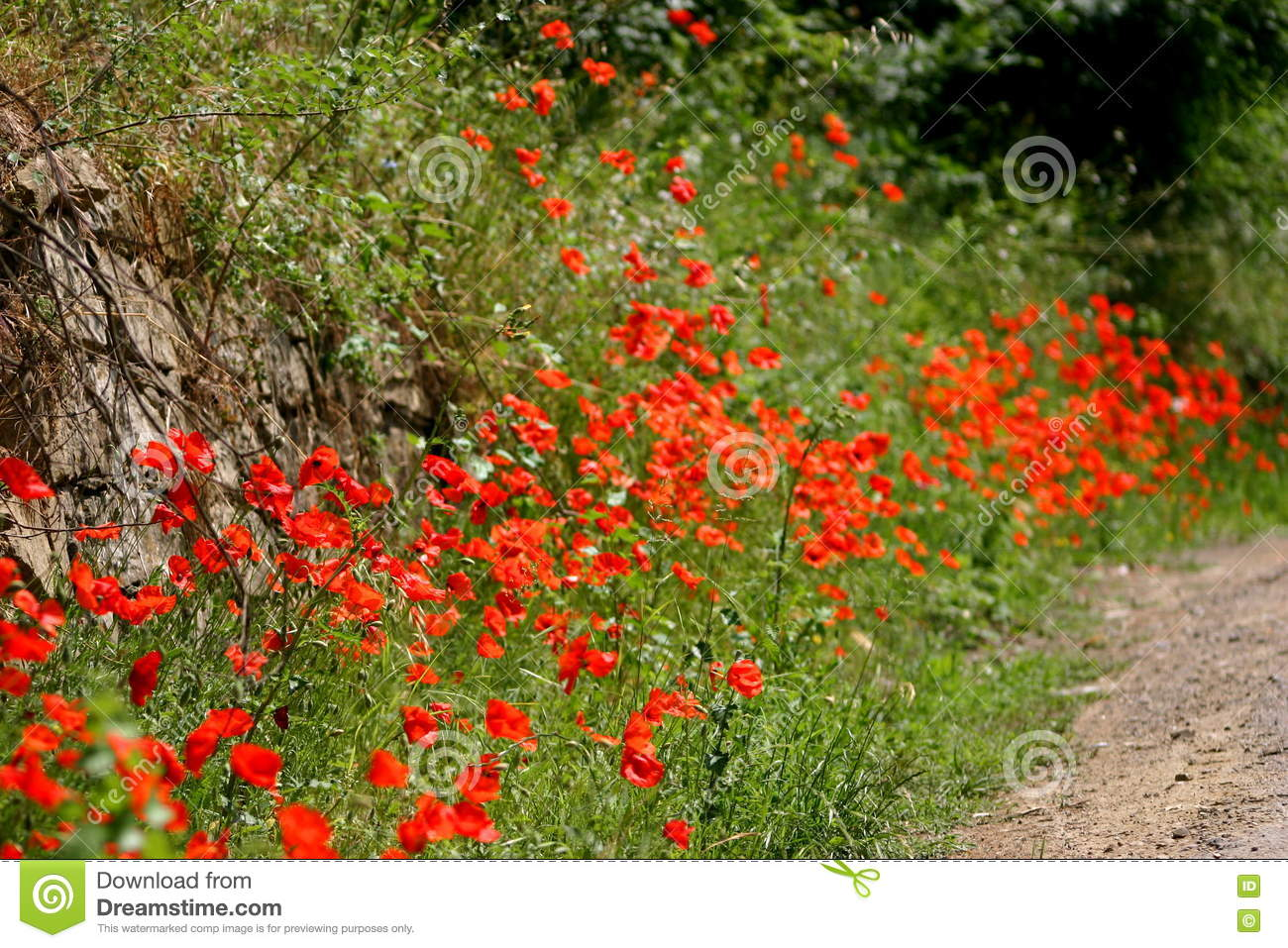 Field of Poppy with gravel path and rock in the back